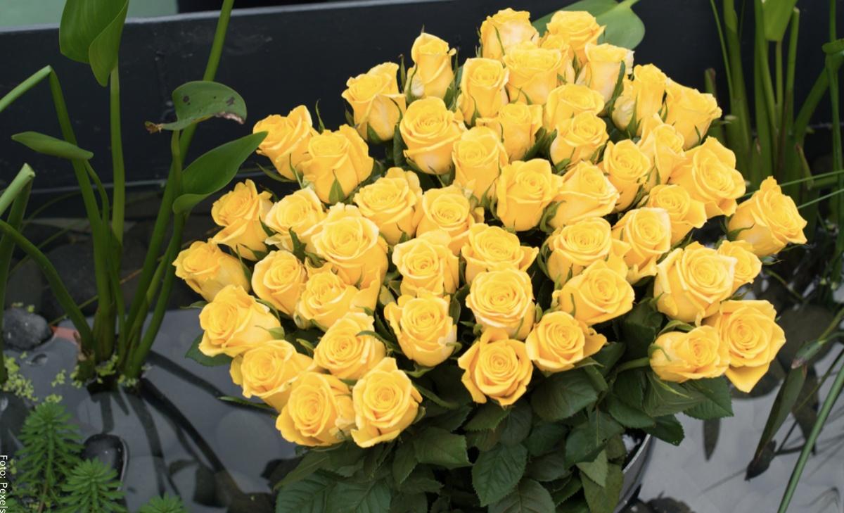 Significado de las rosas amarillas, ¿qué quiere decir?