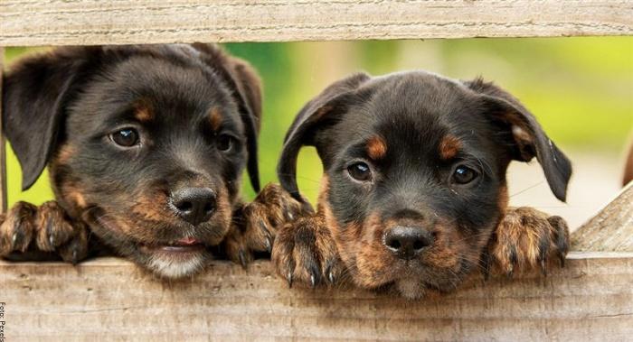 Foto de cachorros bravos