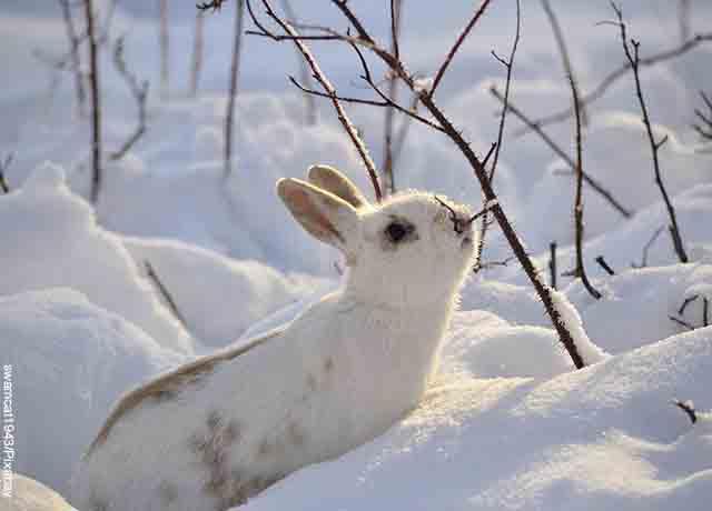 Foto de un conejo sobre la nieve