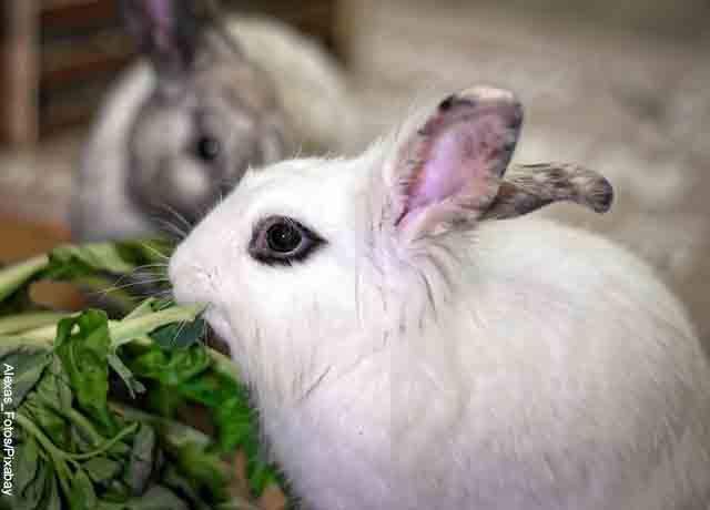 Foto de un conejo comiendo que revela lo que es soñar con conejo blanco