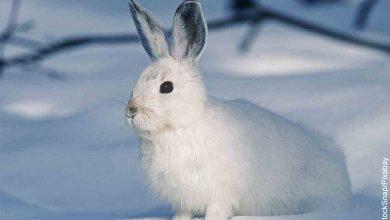 Foto de un conejo en la nieve que revela lo que es soñar con conejo blanco