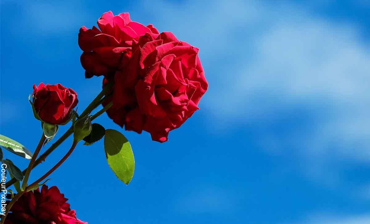 Foto de una flor roja y de fondo el cielo azul que muestra lo que significa soñar con rosas rojas