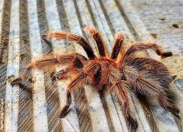Foto de una araña café caminando que revela lo que es soñar con tarántulas
