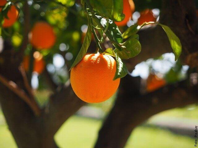 foto de naranja en árbol