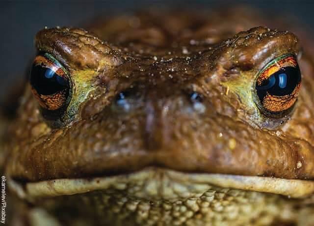 Foto de la cara de un sapo mirando a la cámara
